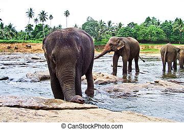 flock of elephants in the river near Pinawella