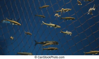Flock of fishes slowly swims in reservoir with water.