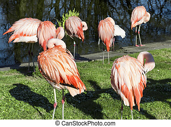 Flock of flamingos in the zoo.