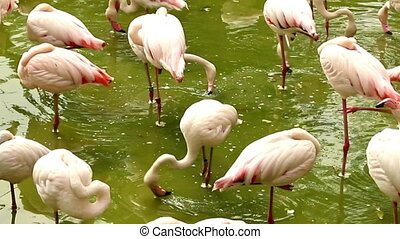 Flock of flamingos standing in pond with dirty water,...