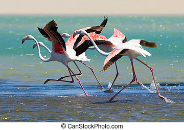 Flock of flamingos taking off from lagoon to fly away -...