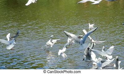 black-headed gulls - Flock of flying black-headed gulls