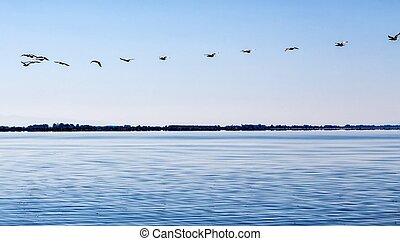 Flock of flying Great black cormorants (Phalacrocorax carbo)...