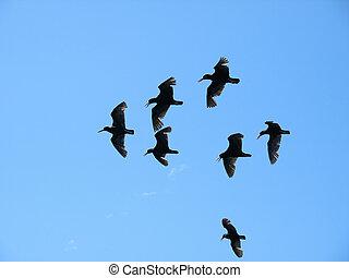Flock of Flying Oystercatchers