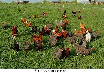 flock of free range chickens on green grass; rural Nebraska