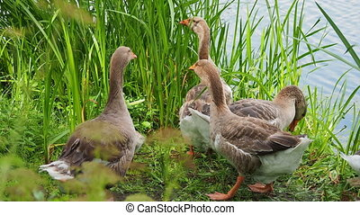 Flock of geese and small fluffy gosling are searching for ...