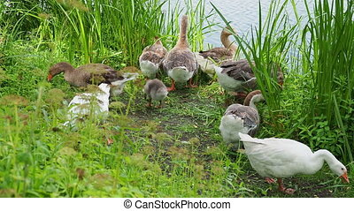 Flock of geese and small fluffy gosling are searching for food in green grass. Poultry grazing near the pond.