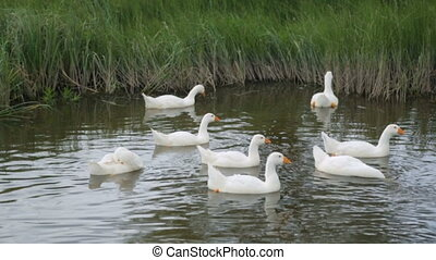 Flock of geese on a river