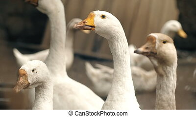 Flock of Geese on Farm - A flock of domestic white geese