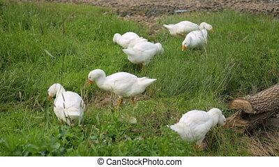 Flock of geese picking grass