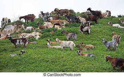 Flock of goat