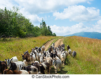 Flock of goats on the dirt road in the Carpathians - Flock ...