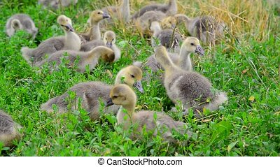 Flock of goose grazing on green grass - A flock of goose...