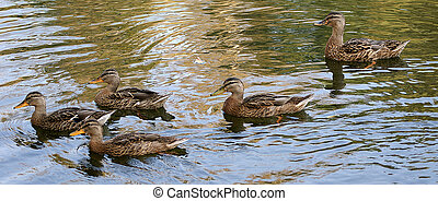 flock of gray ducks floating on a summer pond