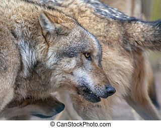 Flock of Grey Wolf - Herde of Eurasian Gray Wolf (Canis...