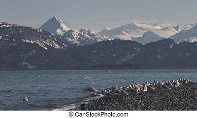 A flock of sea gulls standing around on a rocky bayshore beach take off en masse, with some stragglers excepted. The Kenai Mountains across Kachemak Bay as seen from the end of the Homer Spit provide a rugged backdrop.
