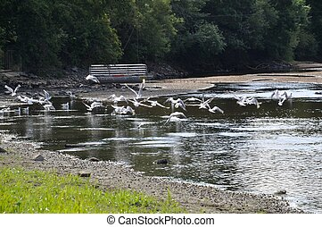 Flock of gulls on a river