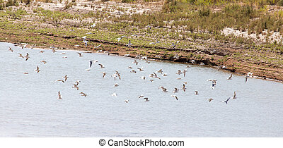 flock of gulls on the river