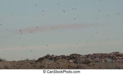 Flock of gulls over landfill