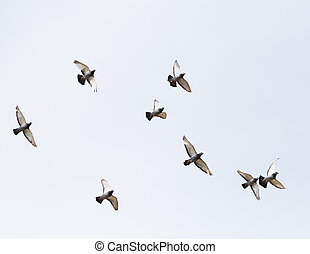 flock of homing pigeon bird flying mid air
