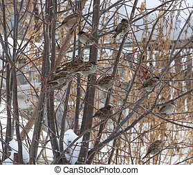 Flock of house sparrows (Passer domesticus) hiding among branches