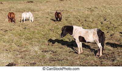 Icelandic horses on a grass field