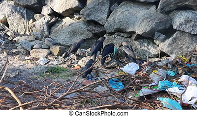flock of indian crow on beach at trash heap - flock of Idian...