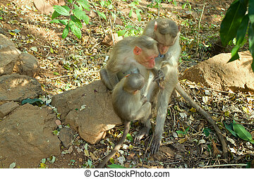 Flock of Indian macaques in dry season. - flock of Indian...