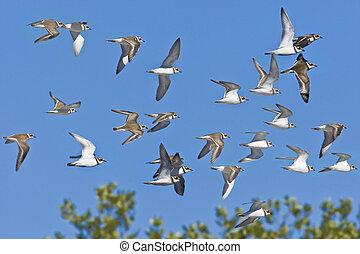 Flock of Killdirs
