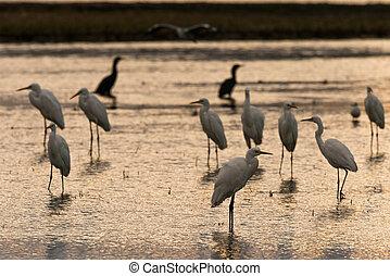 Little egret - flock of Little egret Egretta garzetta in a ...