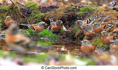 flock of many bramblings on watering,migration of birds,...