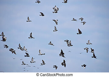 Flock of many pigeon birds in blue sky