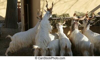 Flock of markhors eating hay in zoo