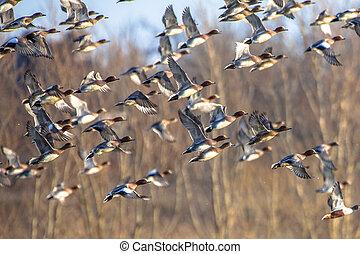 Flock of Migrating Eurasian wigeon ducks - Migratory ...