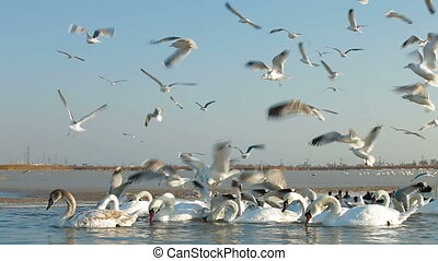 Flock of Migrating Mute Swans at Frozen Winter Lake. Crimea, Yevpatoria. Canon 5D Mark II