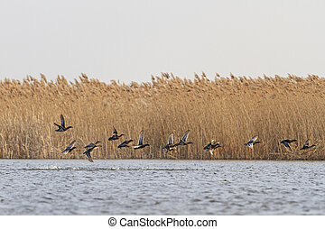 flock of migratory ducks on the water