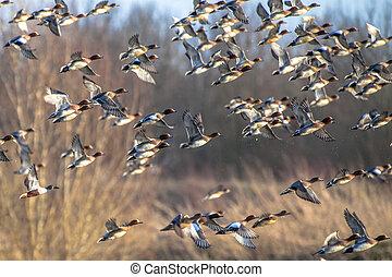 Flock of Migratory Eurasian wigeon ducks - Migrating ...