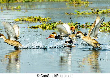 Flock of migratory Red crested pochard flying on lake. ...