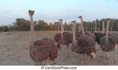 Flock of ostriches at countryside farm. Big ostrich birds walk at ostrich farm. Beautiful flightless animal.