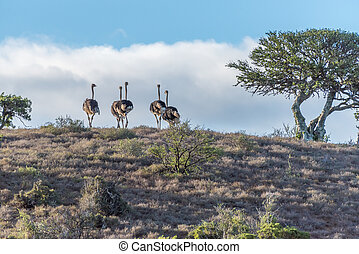 Flock of ostriches at sunset