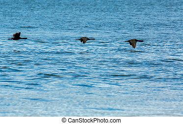 Flock of pelagic cormorant flying over Pacific Ocean.