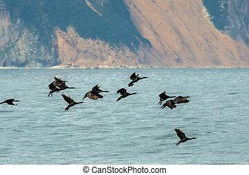 Flock of pelagic cormorant flying over Pacific Ocean. -...