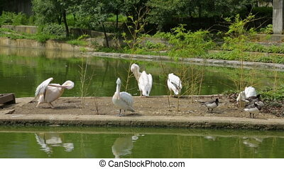 Flock of pelicans and ducks in pond