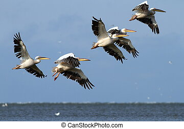 flock of pelicans flying over the sea