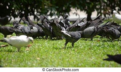 pigeon - flock of pigeon feeding