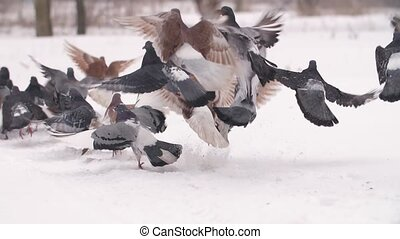 Flock of Pigeong Taking Off - Flock of birds taking of from...