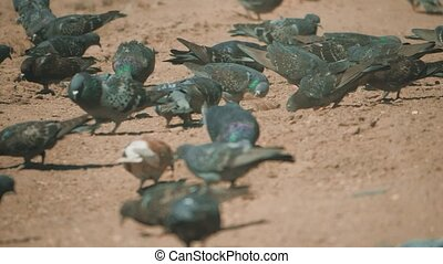 flock of pigeons birds on the ground looking for a grain eat...