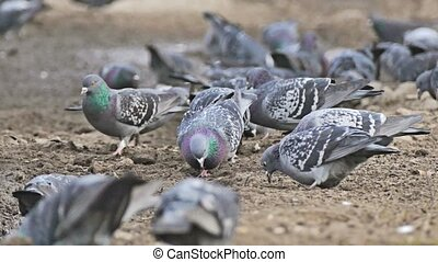 flock of pigeons dove sitting on the brown earth bird pecks...