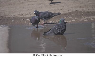 flock of pigeons drink water slow motion video. wild pigeon...