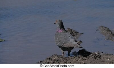 flock of pigeons drink water. wild pigeon drinks water from...